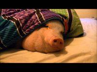 睡眠中の豚へ悪戯!鼻先にクッキーを置いたら!?