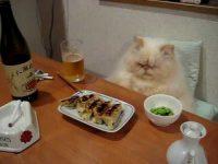 その見た目は、世間の親父をも凌ぐ!?―晩酌の間に居る猫
